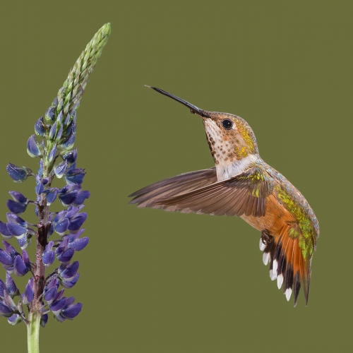 1st Merit - Animal - Lois Burton - Summer Hummer