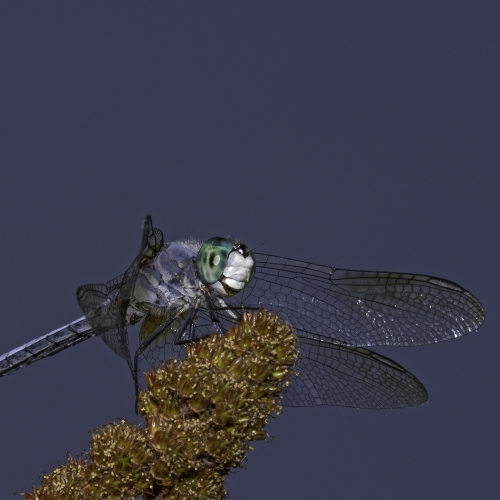 1st Merit - Insect - Lois Burton - Blue Dasher Posing