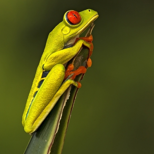 1st Merit Nature - Suzanne Huot - Red Eyed Tree Frog2