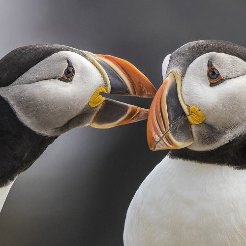1st Place Merit Award IIana Block Puffins Sharing A Moment In Elliston  Newfoundland