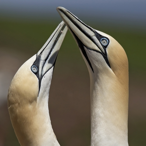 2nd Merit - Quebec - Suzanne Huot - ISLE BONAVENTURE GANNETS BONDING