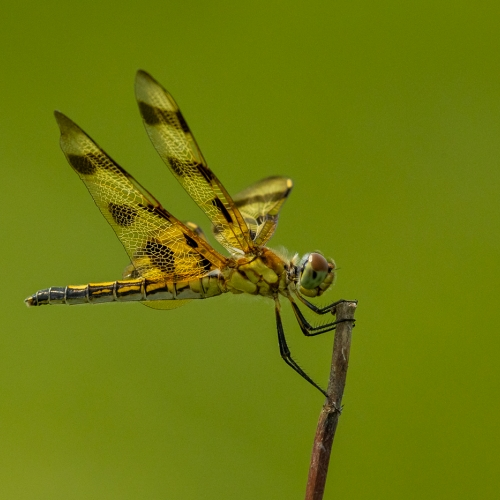 3rd Merit - Insect - Jonathan Sau - Halloween Pennant Dragonfly
