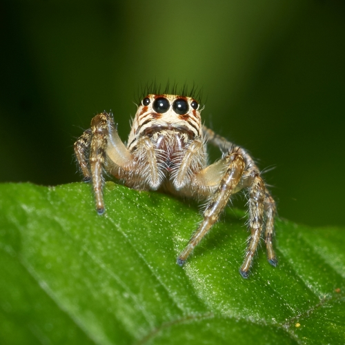 3rd Merit Nature - George Mitchell - Jumping Spider