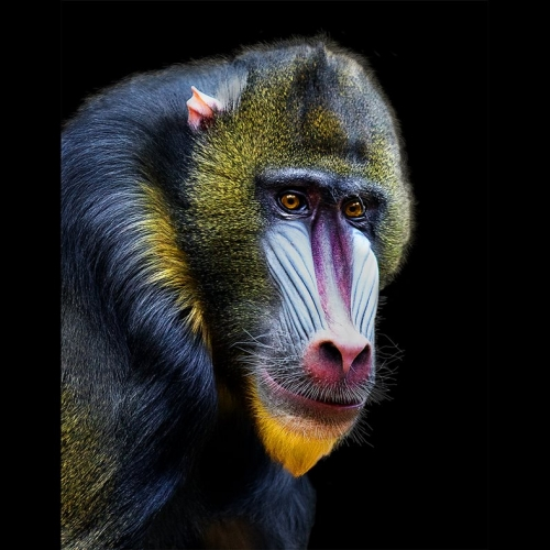 Award Honour Elizabeth Hak The Mandrill