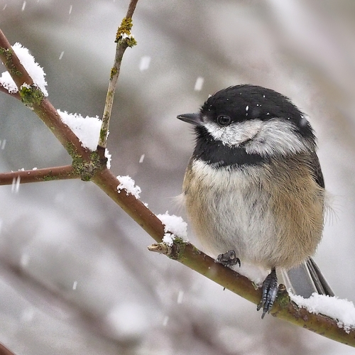 BRONZE Bert Sharp - Chickadee in the Snow