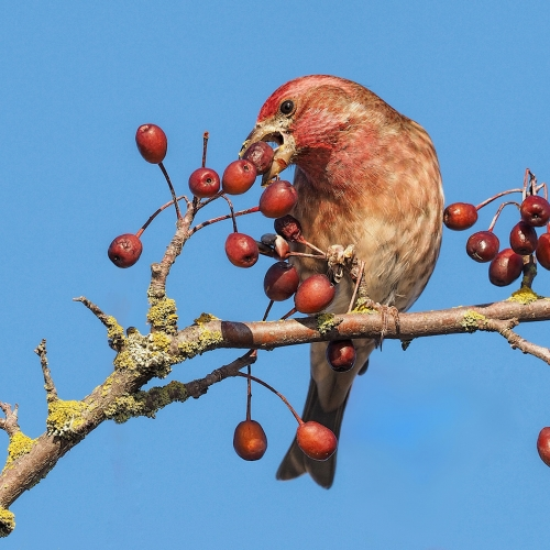 BRONZE Bert Sharp - Purple Finch