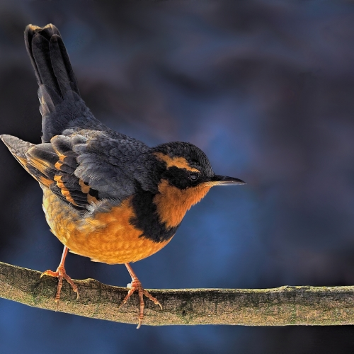 BRONZE Bert Sharp - Varied Thrush