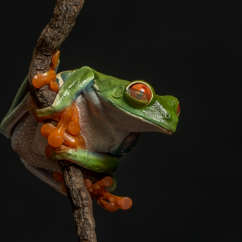 BRONZE Lance Gitter - Red Eyed Tree Frog