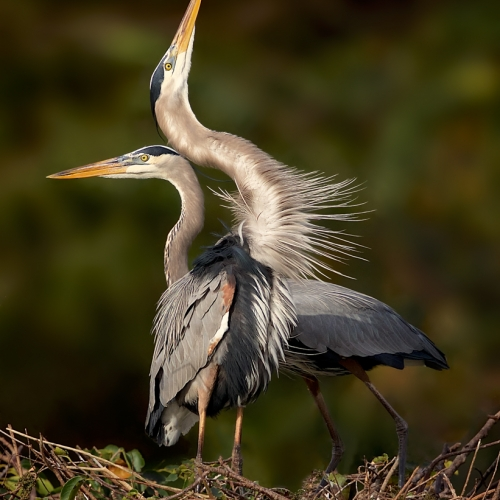 BRONZE TCC Missy Mandel - Great Blue Heron Courtship
