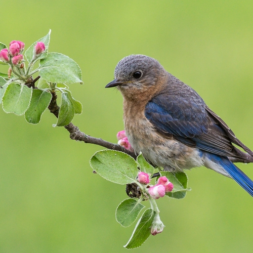BRONZE TCC Rachel Schneiderman - Female Eastern Bluebird