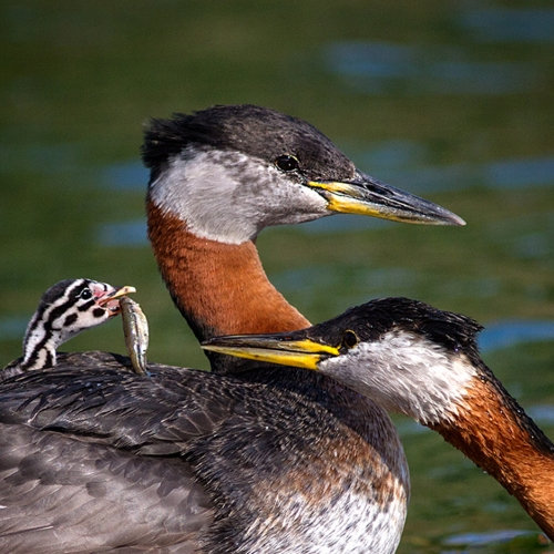 BRONZE TCC Roger Leekam - Red Necked Grebes Feeding Chick