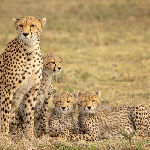 Bronze Medal - Ilana Block - Cheetah And Cubs