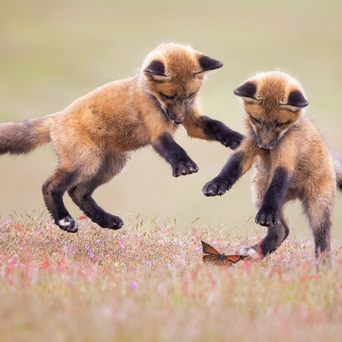 Bronze Medal - Ilana Block - Fox Kits And A Butterfly