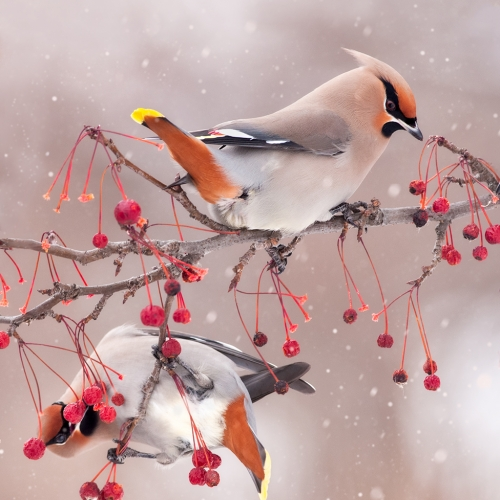 Bronze Medal Jocelyne Feizo A Welcomed Feast For The Waxwings