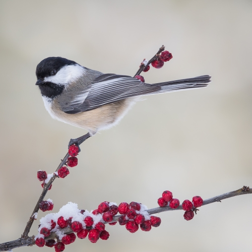 GOLD Missy Mandel - Black Capped Chickadee On Winterberry