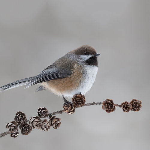 GOLD Missy Mandel - Boreal Chickadee On Tamarack