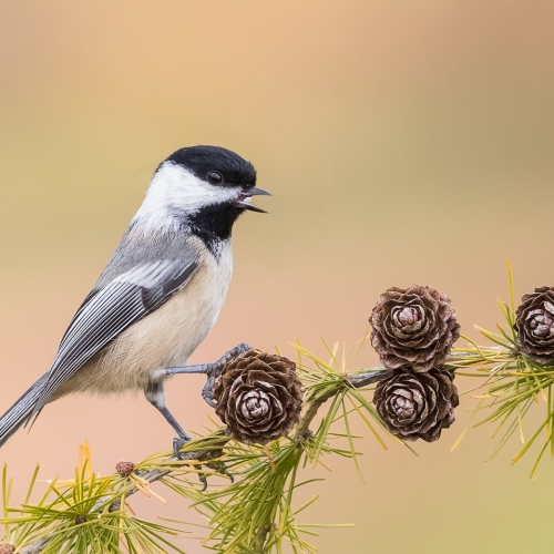 GOLD Missy Mandel - Chickadee On Cones