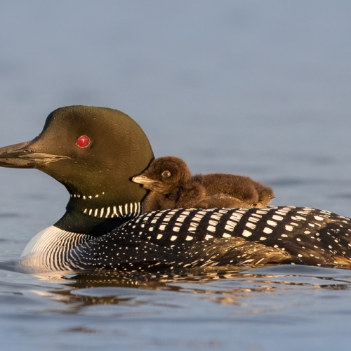 GOLD Missy Mandel - Loon And Chick In Morning Light