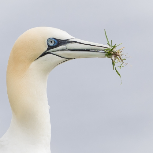 GOLD Missy Mandel - Northern Gannet With Nesting Material