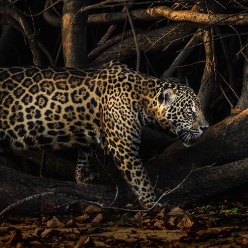 Gold Mary Chambers Prowling Jaguar
