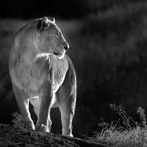 Gold Medal Christopher Siou Morning Lioness B W