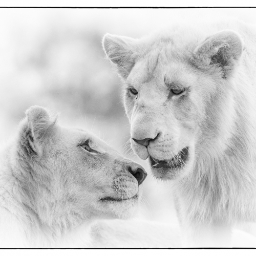 Gold Medal - Kathy Constantinou - Lion Cub Brothers