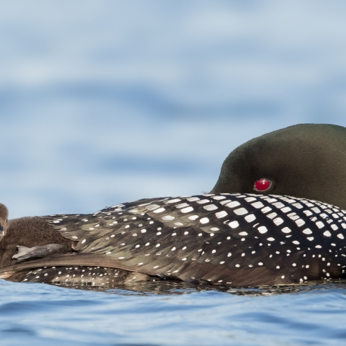 GOLD Missy Mandel - Common Loon And Chick