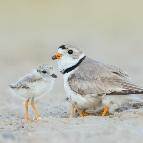 GOLD Missy Mandel - Piping Plover With 3 Chicks