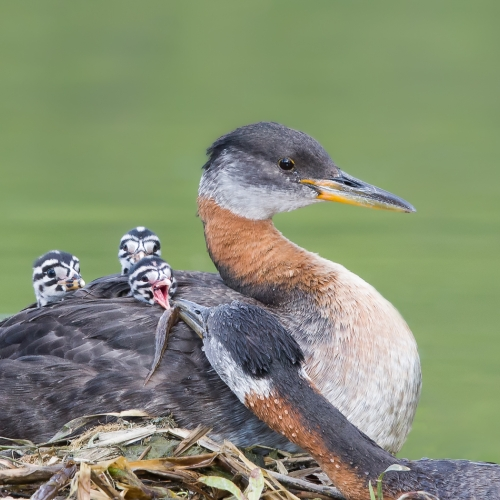 GOLD Missy Mandel - Red Necked Grebe Family