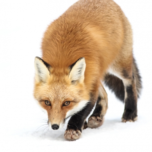 Gold SCPC Bryan Urquhart Red Fox Stalking