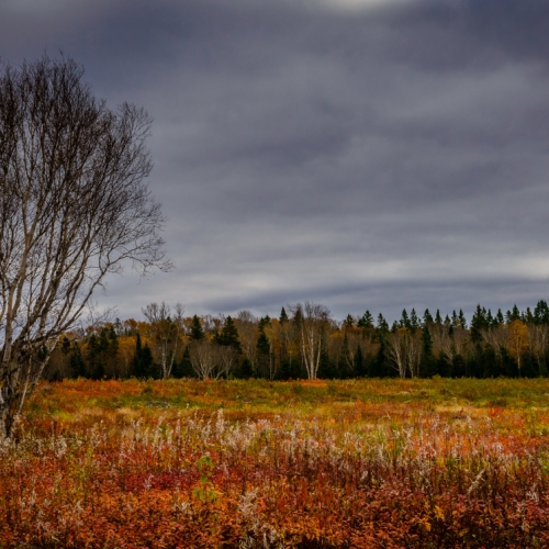 HM 5TH Mark Girard - Birches In A Blueberry Patch