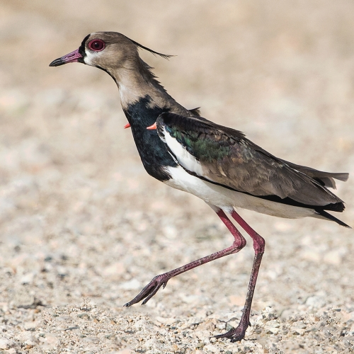 HM 1 Marlene Hornstein - Southern Lapwing Displaying Carpal Spurs