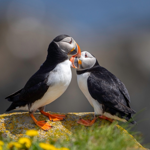 Honour Award - Michael Winsor - Puffin Affection