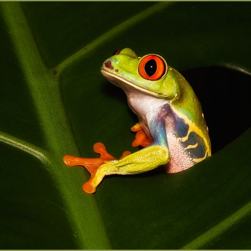 Honour Award - Theresa Bryson - Red Eyed Tree Frog