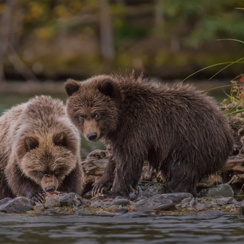 Honour Award Toronto Digital Photography Club Second Photo In Series Pat Zuest 2 Grizzly Bears