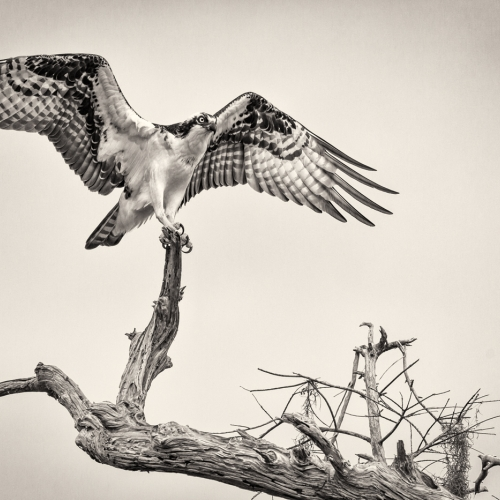 Honour Award - Guy P Larin - Precarious Osprey Perch