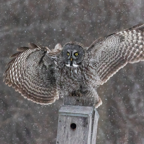 Honour - Ilana Block - Great Grey Owl In The Snow Not Baited