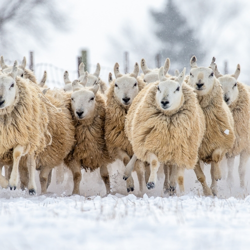 Honour - Ilana Block - Sheep In The Snow