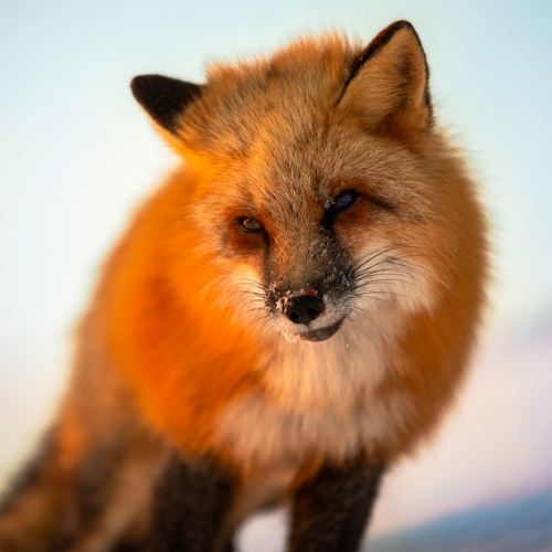 Honour - MIchael Winsor - Red Fox In Morning Light