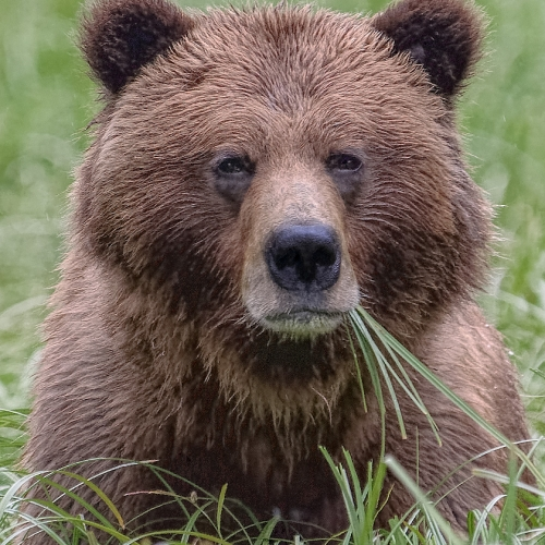 Honour Manfred Mueller Portrait Of A Young  Grizzly,Khutzeymateen Grizzly Bear Sanctuary, BC
