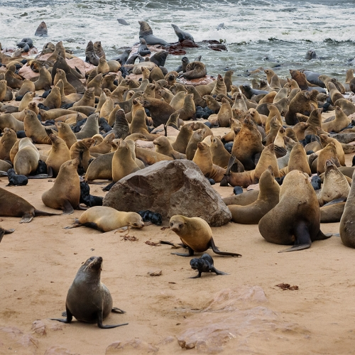 Honour Manfred Mueller Pupping Time   Cape Cross Fur Seal Colony, Namibia