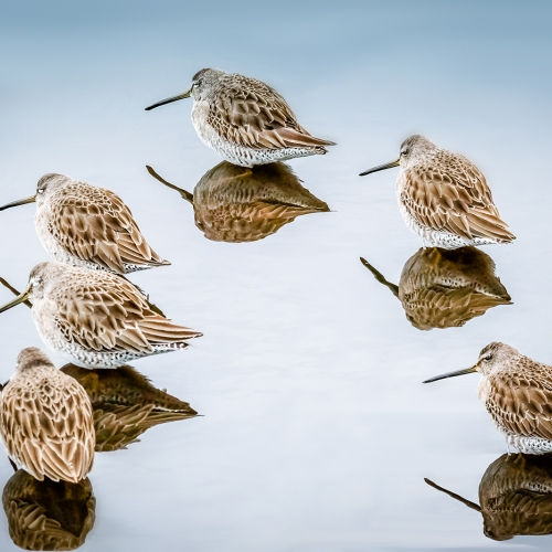 Honour Michel Broadfoot Dunlins On Glassy Water