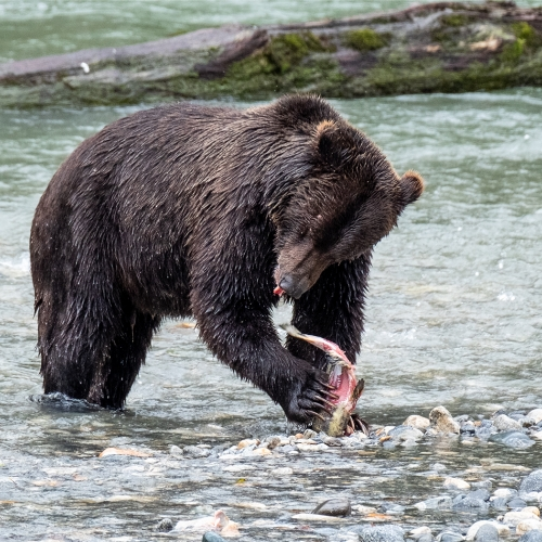 Honour Michele Broadfoot Wild Grizzly Feasting