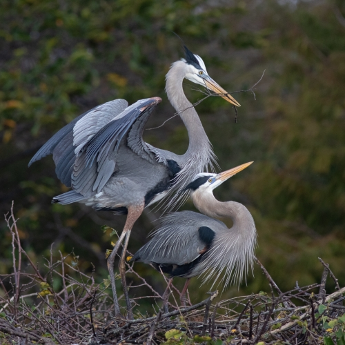 Honour Rachel Schneiderman Great Blue Heron Delivering Nest Building Twig To Mate