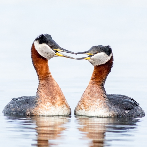 Honour - Rachel Schneiderman - Red Necked Grebes Courtship Display