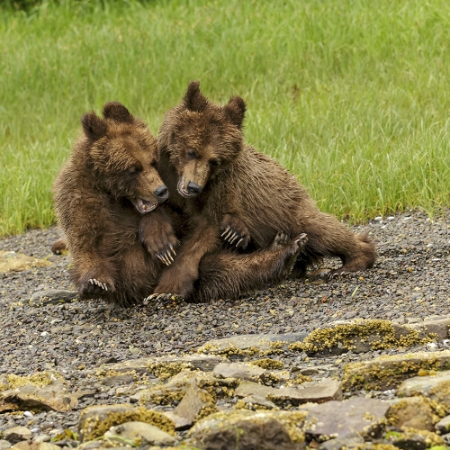 Honour - Suzanne Huot - GRIZZLY PLAYTIME