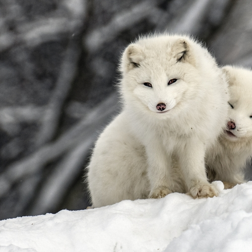 Honour - William Bickle - Arctic Foxes