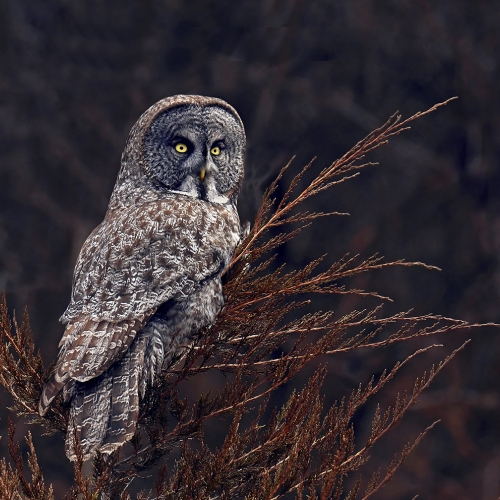 Honour - William Bickle - Great Grey Owl