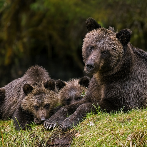 Honour - William Bickle - Grizzly Female And Cubs