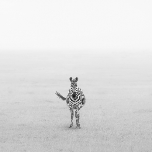 Honour Yun Wang Lonely Zebra